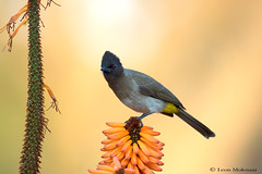 Black-eyed Bulbul (leendert3) Tags: leonmolenaar southafrica wildlife nature birds blackeyedbulbul coth5
