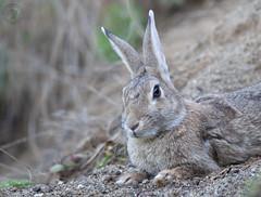 wild rabbit (Fabrizio Comizzoli) Tags: wild rabbit coniglio selvatico