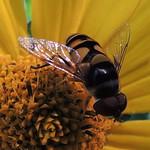 Transverse flower fly male thumbnail