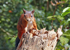 Red Squirrel (eric robb niven) Tags: ericrobbniven redsquirrel wildlife nature scotland springwatch