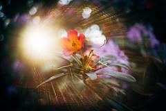 #263 - Rhododendron / Rododendron (photo.by.DK) Tags: helios helios89 helios893019 helios8930mmf19 helioslens russianlens russian sonya7 sonyilce sony sonyalpha sonya7ii shotwideopen wideopen wideopenbokeh depthoffield bokeh bokehlicious bokehful oldlens legacylens manuallens manualfocus manual manualondigital artbydk photobydk