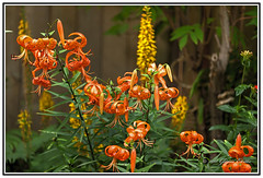 Nature - Flowers - The Beautiful Tiger Lily - Lilium lancifolium (Bill E2011) Tags: nature flowers lily tiger tigerlily canon macro beauty colour design