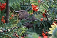Juvenile Blackbird (NTG842) Tags: blackbird juvenile