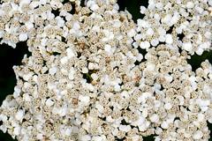 KRWAWNIK POSPOLITY (Achillea millefolium) 1 (goolary) Tags: flowers beskidy kwiaty przyroda góry