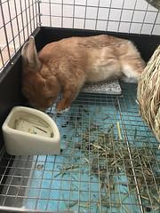 ナゲットくん (ココロのおうち) Tags: rabbit bunny pet 動物 うさぎ ペット うさぎ専門店 ココロのおうち うさぎラブ