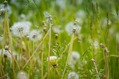 White dandelions in the grass (abbigzero) Tags: plant seed dandelion nature green flower summer spring blowing beauty blossom white background fresh growth macro wind fragility flying garden field scene season meadow grass