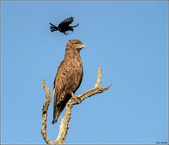 Brown-Snake-Eagle__AM07577 (SueM59) Tags: birds brownsnakeeagle knp may2018 raptors