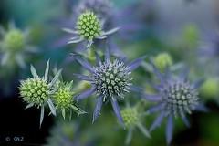 "Eryngium planum ""Blue Hobbit"" (Greet N.) Tags: eryngium plant flower blue nature garden summer june outdoor macro"