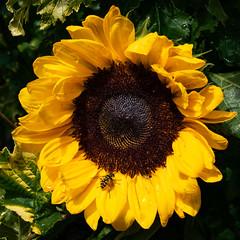 Sunflower (Sjak11) Tags: sunflower flowers bloemen sony instagram