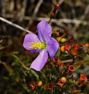 Pale meadow-beauty flower