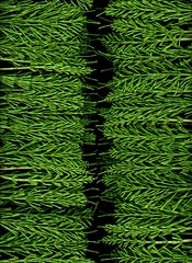59078.01 Equisetum arvense (horticultural art) Tags: horticulturalart equisetumarvense equisetum horsetail columns division line