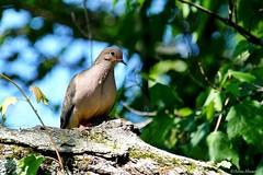 Mourning Dove (Anne Ahearne) Tags: wild bird animal nature wildlife tree mourningdove pretty dove songbird birdwatching