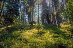 Forest Twilight (Bephep2010) Tags: 2017 77 alpha engadin frühling graubünden grisons landschaft sal1650f28 slta77v schweiz silvaplana sony switzerland wald zwielicht forest landscape spring twilight ch