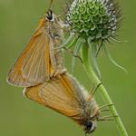 Braunkolbige Braun-Dickkopffalter (Thymelicus sylvestris) bei der Paarung thumbnail