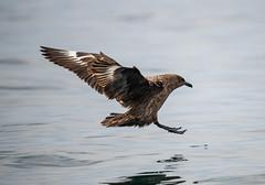 Great Skua 30-06-2018-0087 (seandarcy2) Tags: birds wildlife mull uk skua great
