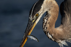No escape (bodro) Tags: bolsachica gbh bird birdfeeding birdfishing birdwithfish birdphotography ecologicalreserve greatblue heron lateafternoonlight shallows smelt tiny wetlands