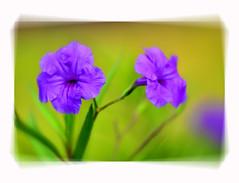Keeping Company ... (daystar297) Tags: flowers flower nature flora purple colors color photoshop fortpierce florida southflorida treasurecoast green blur nikon