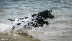 The sea baby (Kakeart) Tags: cocker black water happy swimming spaniel working d5500 nikon dslr dog pet sea fun splashes calshot