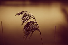 Alone (luci_smid) Tags: emotion feel lake grass reeds surface impression feeling sepia monochrome