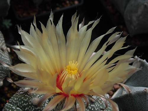Astrophytum flower