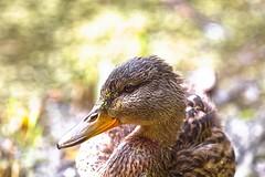 Young Mallard Portrait (rich wich) Tags: bird mallard portrait