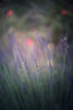 a summer day's dream (pixiespark) Tags: summer sommer meadow wiese lavender lavendel blossoms blüten scentsofsummer sommerdüfte bokeh nature natur asummerdaysdream