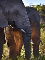 Kicking up a storm (Sumarie Slabber) Tags: wilderness nature elephants dust big5 animals sumarieslabber wildlife welgevondengamereserve southafrica safari