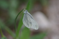 Tintenfleck Weißling (Aah-Yeah) Tags: tintenfleck weisling senfweisling wood white leptidea sinapis reali reissinger schmetterling butterfly tagfalter achental chiemgau bayern