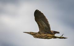 Flying Bittern (TW Olympia) Tags: american bittern steigerwald lake national wildlife refuge flying