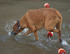 Thirsty (Scott 97006) Tags: water river dog hot drink thirst cute animal canine