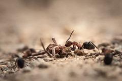 Mise à mort (jf.cudennec) Tags: nature animal hunt killing ant spider summer creuse dust canon 100mm macro macrophotography macrophoto proxi gravel