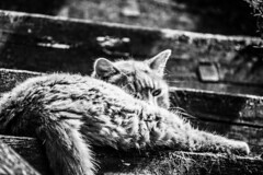 Visegrád Fellegvár | Hungary (kovacsliliom) Tags: blackandwhite bw cat photography amateurphotography animal amateur animalphotography catphotography monochrome nikon nikkorlens d5300