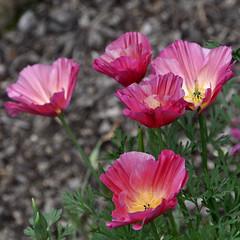 Pretty Pink Petals (magaroonie) Tags: 7dos five friday