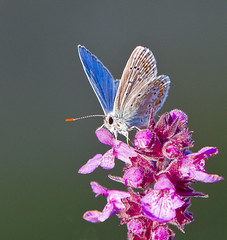 Common Blue Polyommatus icarus (Ivan Lynas Nature Photography) Tags: