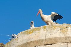 Il pasto del piccolo (giovanni tiezzi) Tags: stork puppy meal cigogne repas chiot nature uccelli natura cicogna