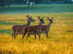 Deers at sunrise in Dyrehaven (ibjfoto) Tags: danmark deer denmark dyrehaven forest ibjensen ibjfoto natur sealand sjælland rådyr solopgang sunrise