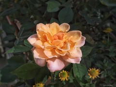 Sunny Sunday Flower Power (Sockenhummel) Tags: rose balkon blume blüte iphone balcony