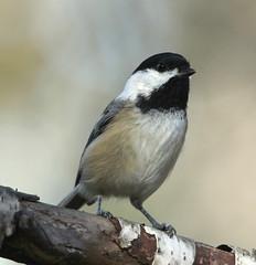Mésange (Marie-Helene Levesque) Tags: oiseau abitibi valdor côtede100pieds mesange mariehélène mariehelene