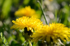 Dandelion (Kapitalist63) Tags: dandelion nature color plant view light bright yellow