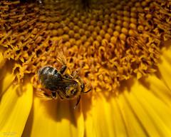 Golden Sun (59roadking - Jim Johnston) Tags: ifttt 500px pollen flower head petal part stamen bud sunflower bee