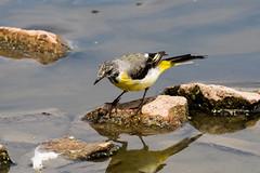 IMG_7797.jpg (TonyJ 3006) Tags: birds greywagtail places slimbridge