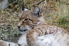 Luchs (birk.noack) Tags: luchseurasischerluchsnordluchslynxlynxtiertierparkgeratierparkportraitanimalanimalparkgeraanimalparkportrait luchs eurasischerluchs nordluchs lynxlynx tier tierparkgera tierpark portrait animal animalparkgera animalpark