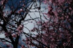 in the garden (jhnmccrmck) Tags: bokeh melbourne hawthorn almondtree blossoms spring fujifilm fujifilmxt1 xt1 classicchrome inthegarden athome prunusdulcis