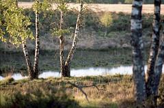 (Ir3nicus) Tags: ausen baum birke c41 demaasduinen epsonv800 film kodakportra160 landschaft negativscan nikonfm2 nikonnikkor135mm128ai wasser analog outdoor tree birch landscape negativescan water analogue natur nature niederlande netherlands