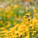 Yellow Flowers thumbnail