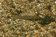 Brown Trout, River Cober, Boating Lake, Helston 14 August 2018 (Cold War Warrior) Tags: trout cober helston