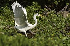 Great Egret (will139) Tags: ardeaalba greatwhiteegret ardeidae bird avian ornithology eaglecreekpark indianapolisindiana largeheron