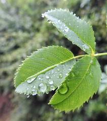 Semi-Opaque Leaf - After the Rain (Gilli8888) Tags: nikon p900 coolpix countryside lamesley lamesleypastures tyneandwear nature leaf flora wetlands rain water green