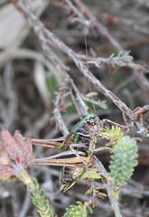 Male Bog Bush Cricket in heather on Padworth Common (dugwin2) Tags: male bog bush cricket metrioptera brachyptera padworth common hampshireberkshire border