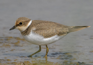 Little Ringed Plover-